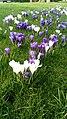 Gorechtkade crocus flowers, Groningen (2020) 01.jpg