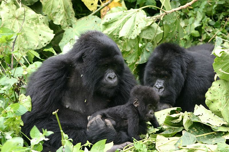 File:Gorillas with baby in Rwanda at the Volcanoes National Park (290812486).jpg
