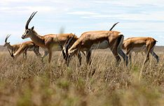 Grant's-gazelle