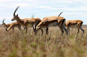 Nanger - Grant's Gazelle (Nanger granti)