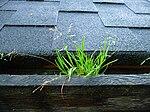 Gras wächst aus Regenrinne.JPG