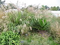 Grasses and Agave (15167150061).jpg