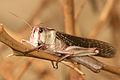 Grasshopper (4240781322) (2).jpg