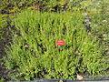 Gratiola officinalis - Botanischer Garten, Frankfurt am Main - DSC02716.JPG