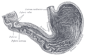 Gray1050-stomach.png
