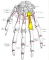 Gray220 - Fourth metacarpal bone.png