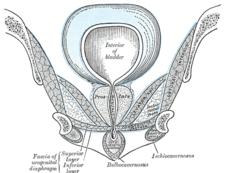 Fossa ischioanalnis