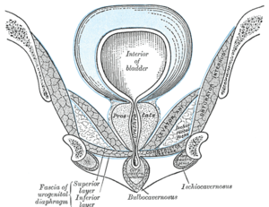 Internal obturator muscle - Coronal section of anterior part of pelvis, through the pubic arch. Seen from in front. (Obturator internus labeled at right.)