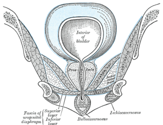 External sphincter muscle of male urethra - Coronal section of anterior part of pelvis, through the pubic arch. Seen from in front. (Region visible, but muscle not labeled.)