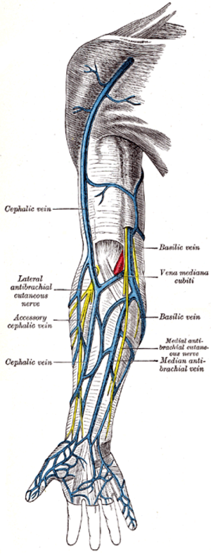 Accessory cephalic vein - Superficial veins of the upper limb (accessory cephalic vein labeled at center left)