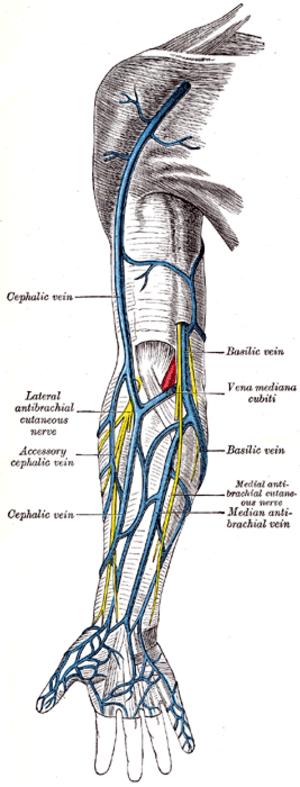 Cubital fossa - Image: Gray 574
