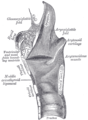 Sagittal section of the larynx and upper part of the trachea.