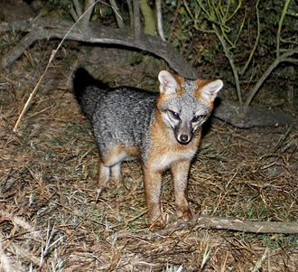 Gray fox - Gray fox kit at the Palo Alto Baylands in California