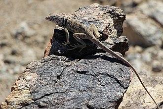 Great Basin collared lizard - Crotaphytus bicintores