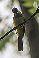 Great Crested Flycatcher (9055236338).jpg