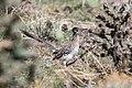 Greater Roadrunner (Geococcyx californianus) (19729212224).jpg