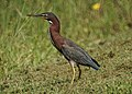 Green Heron (15980031684).jpg