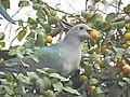 Green Imperial Pigeon Zizyphus DSCN7402.jpg