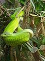 Green Mamba.JPG