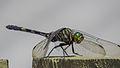 Green Skimmer (17249184676).jpg