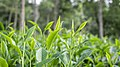 Green tea leaf 1.jpg