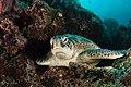Green turtle 4 lekuan 1, siladen, indonesia (34860064142).jpg