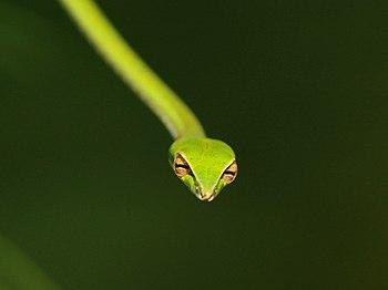 Green vine snake 01.jpg