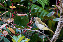 Greenbacked-whistler3.jpg