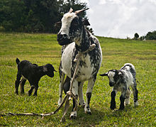 Seekor induk kambing dengan dua ekor anaknya. fac1937ec7