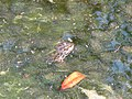 Grenouille dans le bassin des Serres de la Madone.jpg