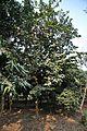 Grewia asiatica - Murshidabad 2014-11-29 0188.JPG