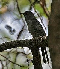 Grey-bellied Cuckoo (Cacomantis passerinus) at Hyderabad, AP W 067.jpg