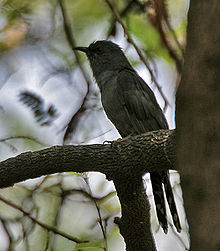 Grey-bellied Cuckoo (Cacomantis passerinus) at Hyderabad, AP W 067.jpg