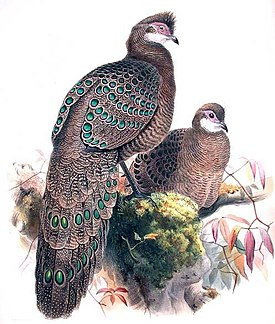 Grey Peacock-Pheasant.jpg