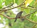 Grey bellied cuckoo9 ( Cacomantis passerinus) ചെറുകുയിൽ.jpg