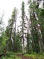 Grey sky & trees -- Yukon.jpg