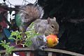 Grey squirrel 2.jpg