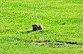 Groundhog, (AKA Woodchuck) is Eastern Marmot - panoramio.jpg
