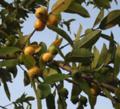 Guava-fruit-plant.png