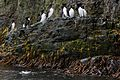 Guillemots on Bear Island Svalbard Arctic (19661372003).jpg