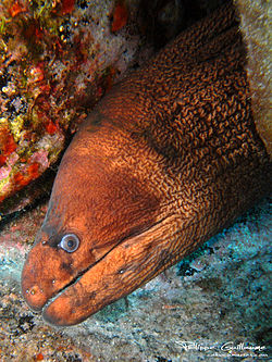 Gymnothorax unicolor head.jpg
