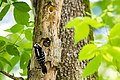 Hairy woodpecker (26463799880).jpg