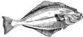 Halibut Fish (PSF).png