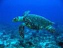 Hawksbill Turtle.jpg