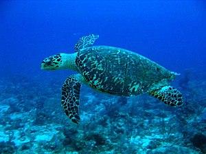 宏都拉斯烏提拉島(Útila)附近海域中的玳瑁