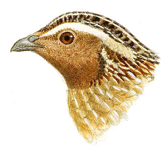 Japanese quail - Drawing of the head of a Japanese quail