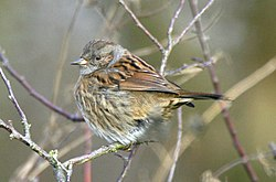 meaning of dunnock