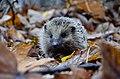 Hedgehog, Poland (Unsplash).jpg