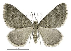 240px helastia corcularia female