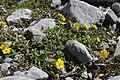 Helianthemum nummularium plant (02).jpg